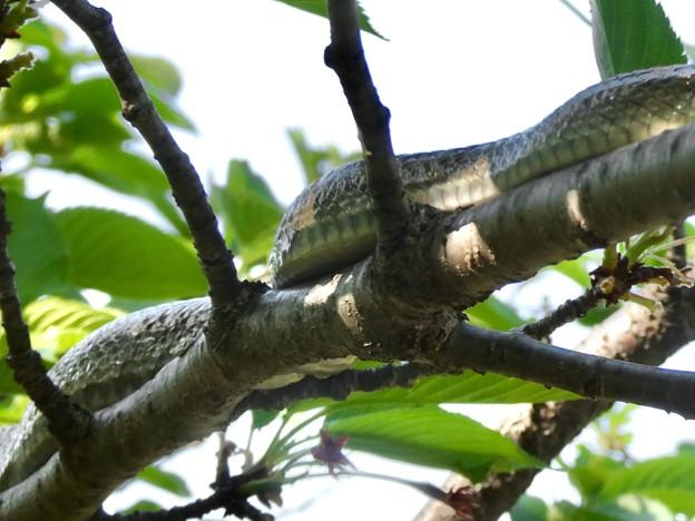 木の上にいたヘビ(たぶんアオダイショウ) - 21