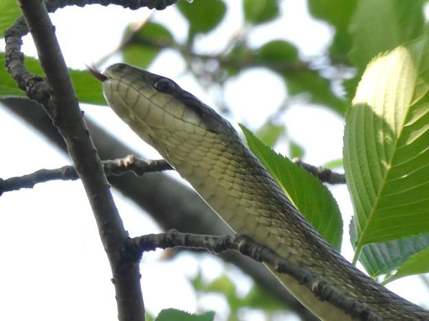 木の上にいたヘビ(たぶんアオダイショウ) - 22