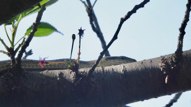 木の上にいたヘビ(たぶんアオダイショウ) - 6