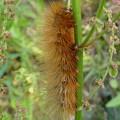 茶色い大きな毛虫 - 6