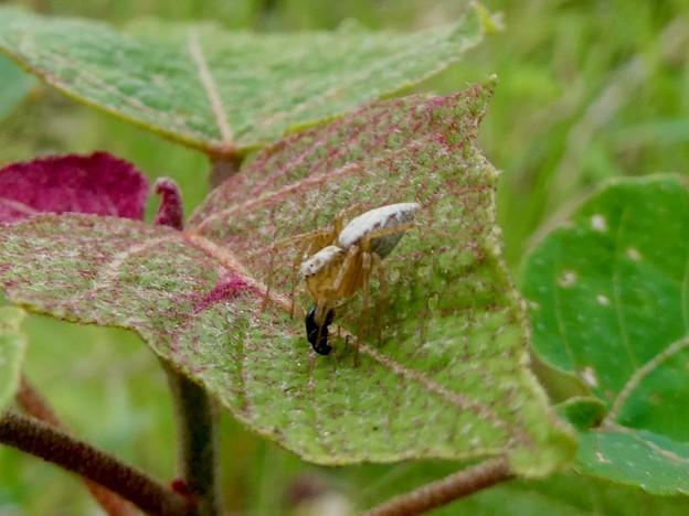 小さい虫を捕まえていたササグモ - 2