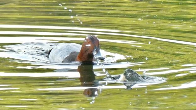 小幡緑地 緑ヶ池:1羽だけいたホシハジロ - 5(パンもらい中)