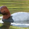 小幡緑地 緑ヶ池:1羽だけいたホシハジロ - 8