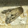 小幡緑地のトイレにいた蛾