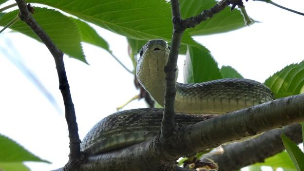木の上にいた、たぶんアオダイショウ - 2
