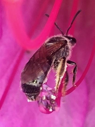 花の中で何か作業をしてた?黒いハバチ - 9