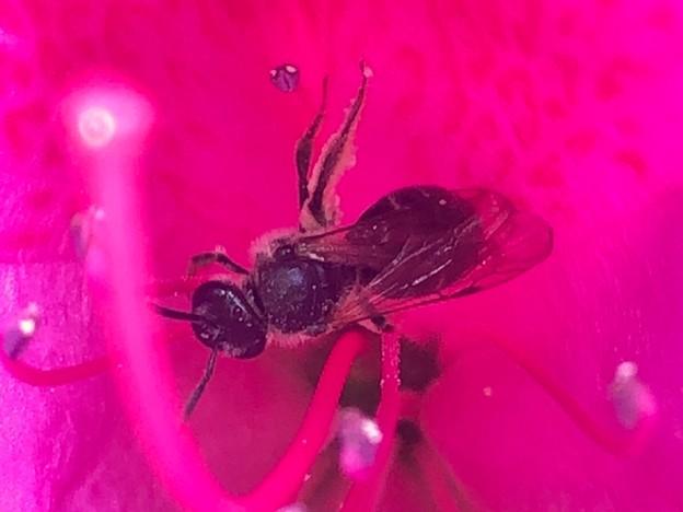 花の中で何か作業をしてた?黒いハバチ - 12
