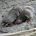 Photos: 道路脇にいたジネズミの赤ちゃん - 2