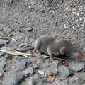 Photos: 道路脇にいたジネズミの赤ちゃん - 12