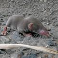 Photos: 道路脇にいたジネズミの赤ちゃん - 13