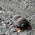 Photos: 道路脇にいたジネズミの赤ちゃん - 15