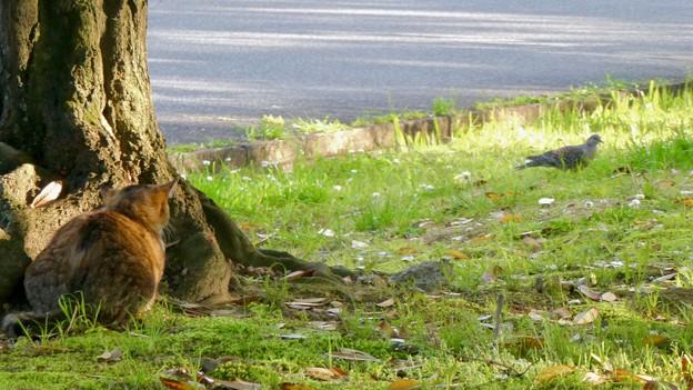 ハトを狙っていた猫 - 2