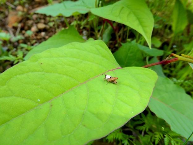 葉っぱの上にいたヒシバッタ - 4