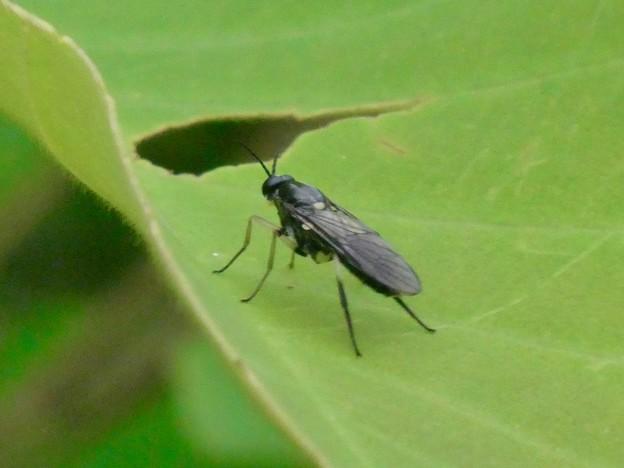 黒いハバチ - 2