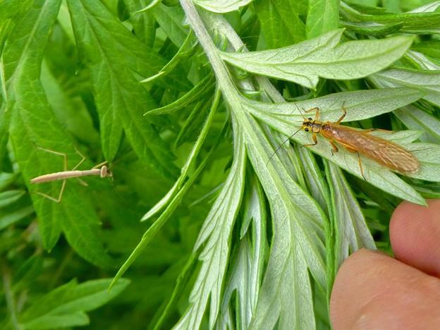 草の上にいたフタツメカワゲラ - 1:あと小さなカマキリ