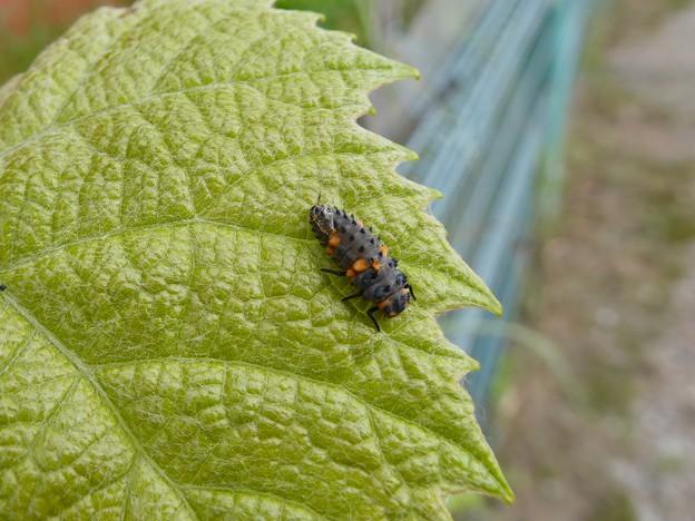 ナナホシテントウの幼虫 - 1