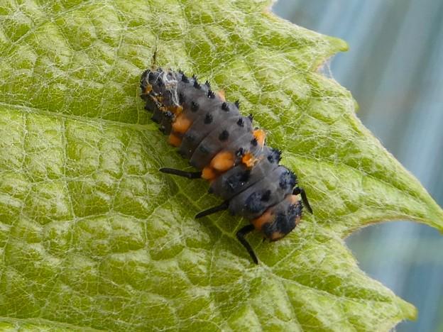 ナナホシテントウの幼虫 - 2