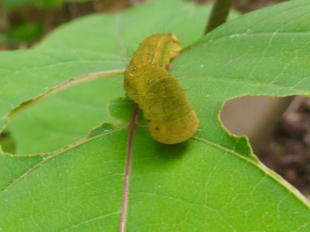 黄緑色のイモムシ - 6