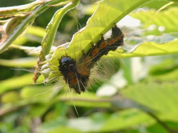 弥勒山にもいたドクガの幼虫 - 2