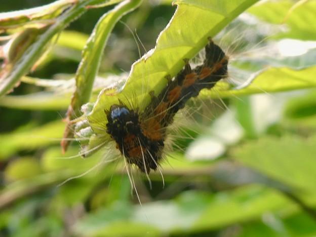 弥勒山にもいたドクガの幼虫 - 3