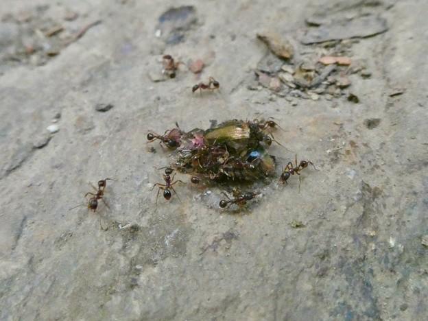 甲虫を解体してた?アリ - 1