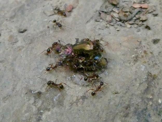 甲虫を解体してた?アリ - 2