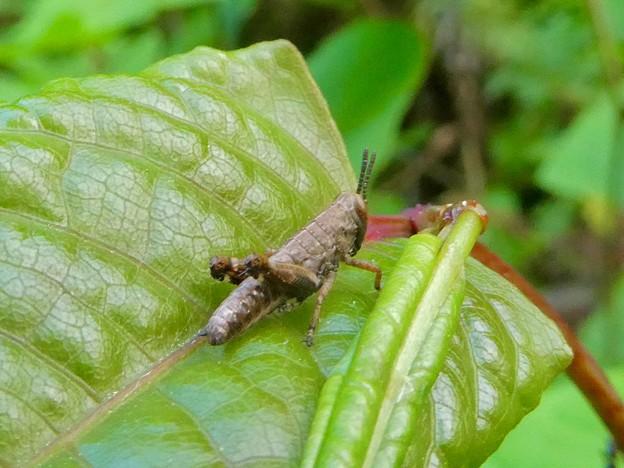たぶんフキバッタの幼虫 - 1