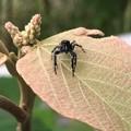 Photos: 興味あるのか近づいて来た黒いハエトリグモ(たぶんマミジロハエトリ) - 2