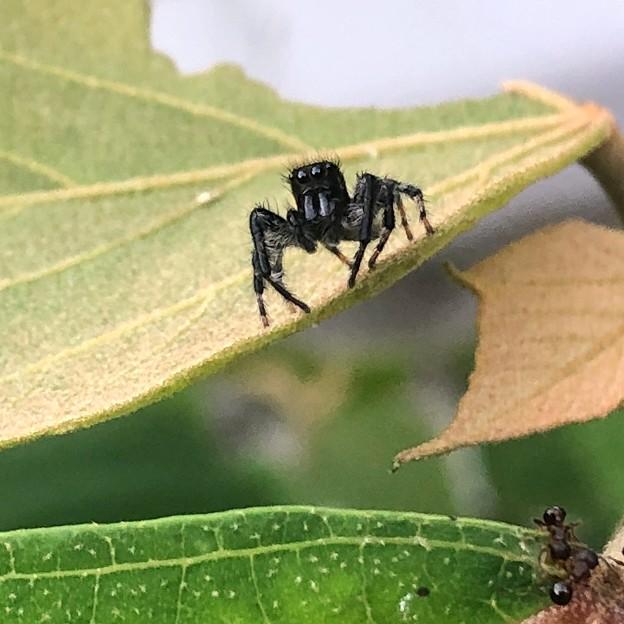 興味あるのか近づいて来た黒いハエトリグモ(たぶんマミジロハエトリ) - 3