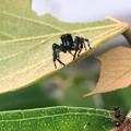 Photos: 興味あるのか近づいて来た黒いハエトリグモ(たぶんマミジロハエトリ) - 3