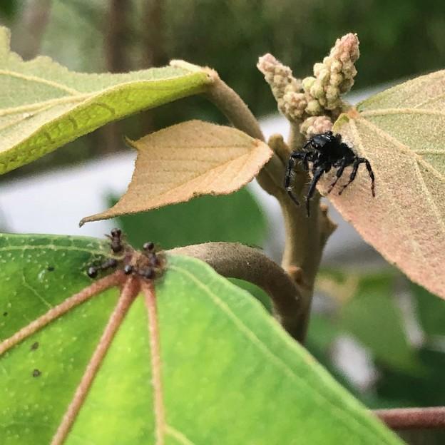 小さなアリを見ていた黒いハエトリグモ(たぶんマミジロハエトリ) - 2