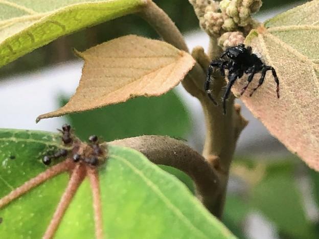 小さなアリを見ていた黒いハエトリグモ(たぶんマミジロハエトリ) - 3