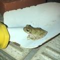 玄関にいたカエル - 1