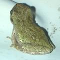 玄関にいたカエル - 4