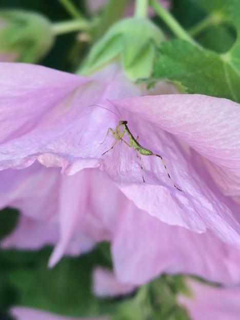 花の上にいたハラビロカマキリの幼虫 - 1