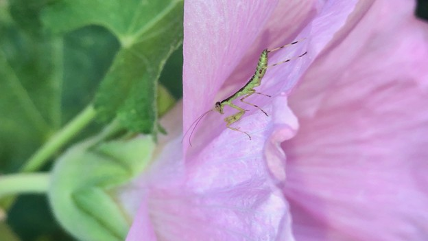 花の上にいたハラビロカマキリの幼虫 - 3