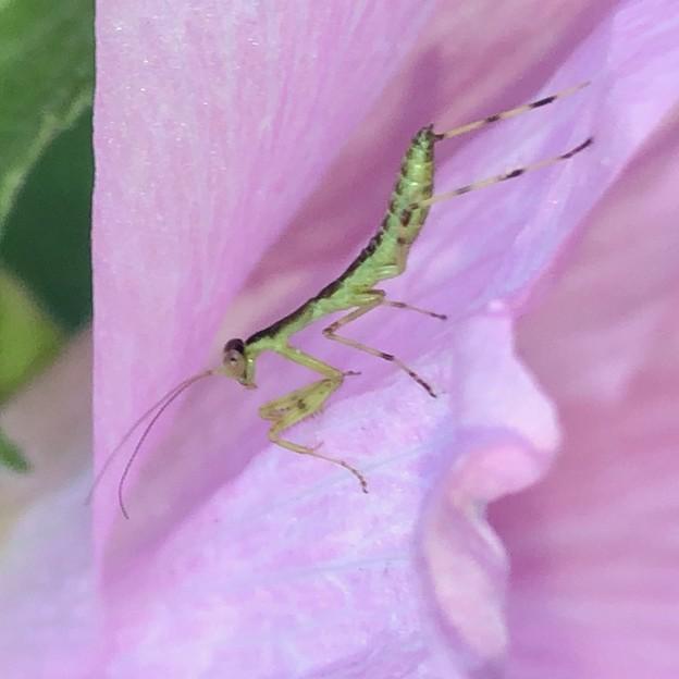 花の上にいたハラビロカマキリの幼虫 - 4