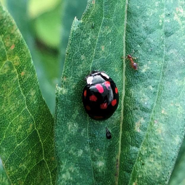 黒字に赤い斑点が沢山あるテントウムシ(たぶんナミテントウ) - 2