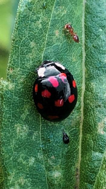 黒字に赤い斑点が沢山あるテントウムシ(たぶんナミテントウ) - 3