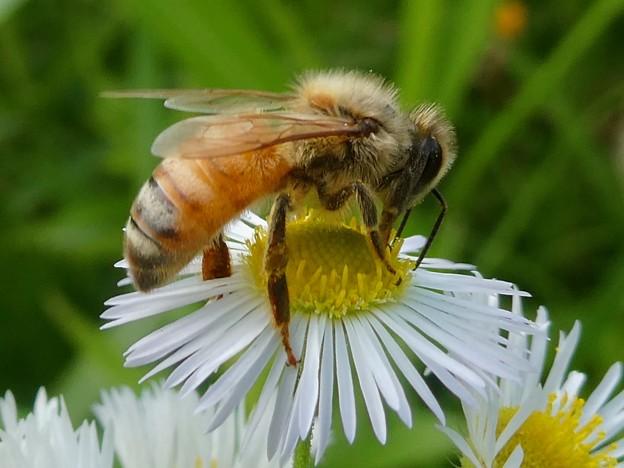 蜜を集めていたミツバチ - 1