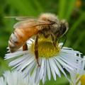 Photos: 蜜を集めていたミツバチ - 1