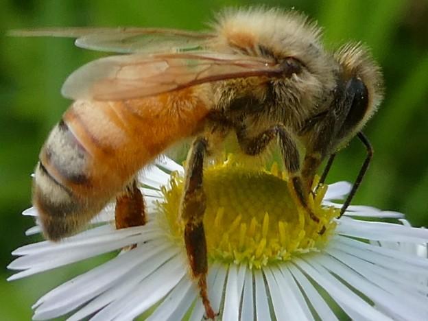 蜜を集めていたミツバチ - 2