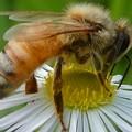 Photos: 蜜を集めていたミツバチ - 2