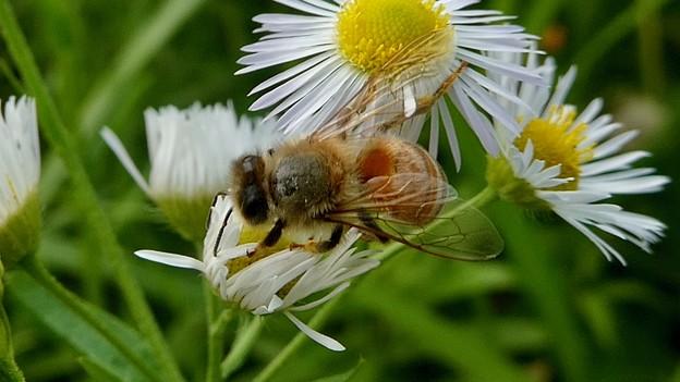 蜜を集めていたミツバチ - 3