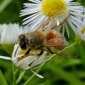 Photos: 蜜を集めていたミツバチ - 3