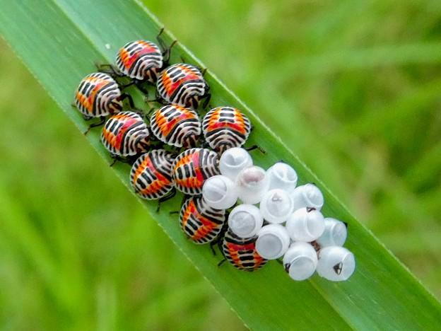 草の裏側にいたキマダラカメムシの孵化後間もない若令幼虫と卵 - 14