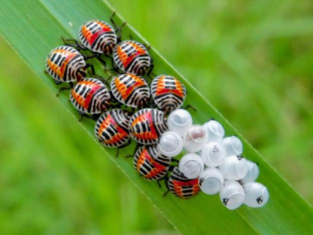 草の裏側にいたキマダラカメムシの孵化後間もない若令幼虫と卵 - 15
