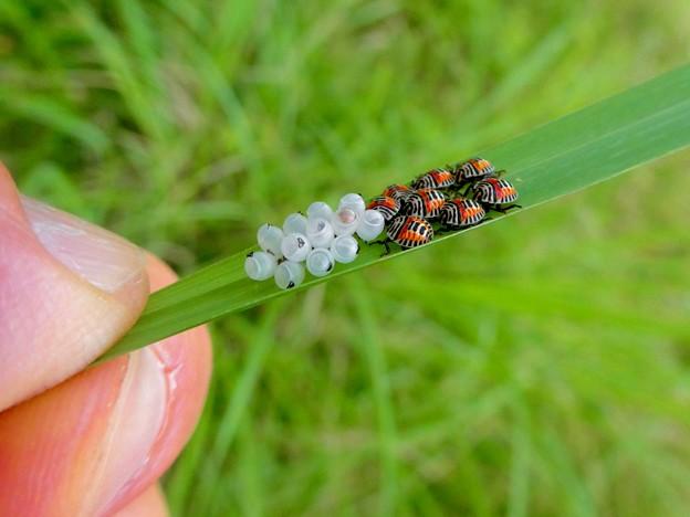 草の裏側にいたキマダラカメムシの孵化後間もない若令幼虫と卵 - 16