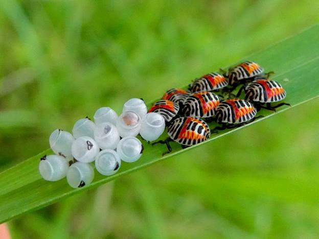 草の裏側にいたキマダラカメムシの孵化後間もない若令幼虫と卵 - 17