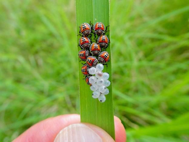 草の裏側にいたキマダラカメムシの孵化後間もない若令幼虫と卵 - 18
